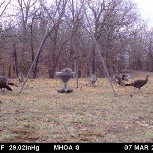 Turkeys around feeder