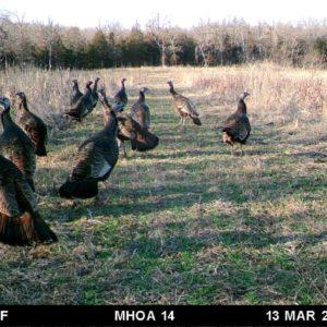 Wild turkeys in food plot